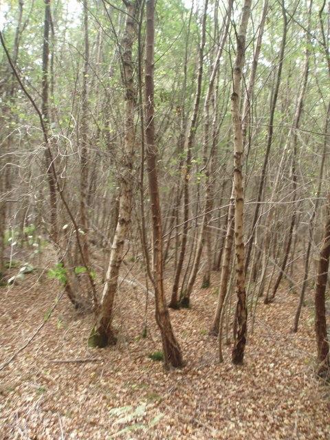 Eleven Oak Wood