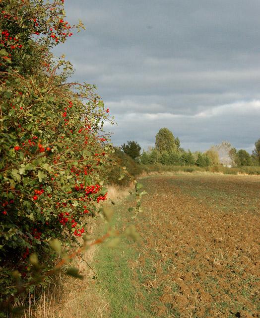 Berries on a hedgerow near Grandborough