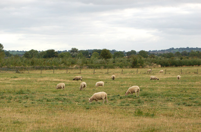 Sheep grazing south of the Hill to Grandborough lane