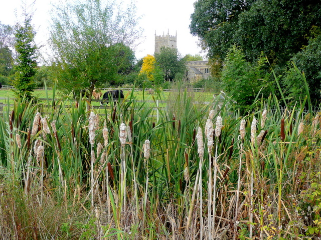 Bulrushes by the A46