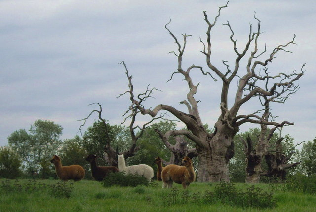Alpacas grazing in the Petrified Forest.