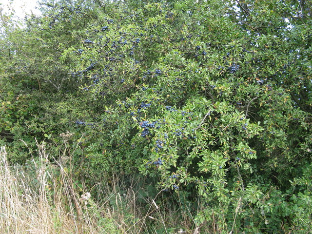 Plentiful sloes on Blackthorn bush