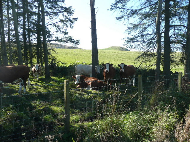 Cattle in the shade of the wood
