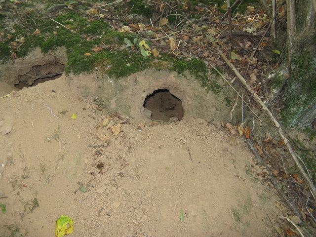 Sandy soil makes it easy for local rabbit population
