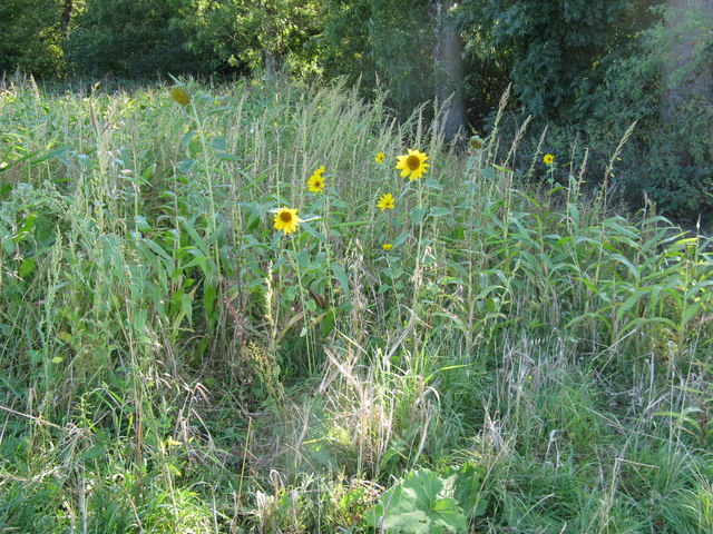 Sunflowers at the north end of Stoney Copse