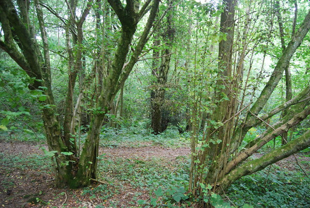 Coppiced trees, Toll Wood