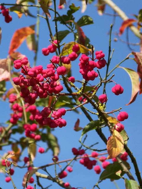 Spindle tree (Euonymus europaeus), Tisbury