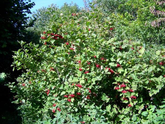 Guelder rose (Viburmum spulus), Tisbury