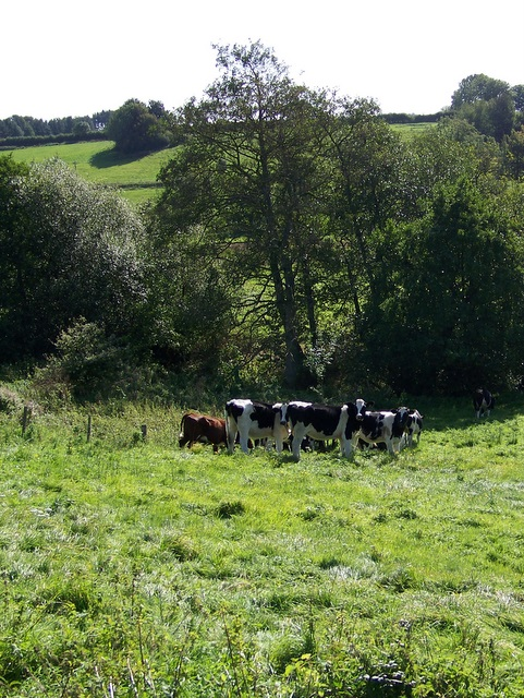 Cattle, Nadder Valley
