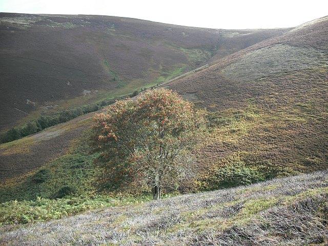 Rowan tree, Peat Law