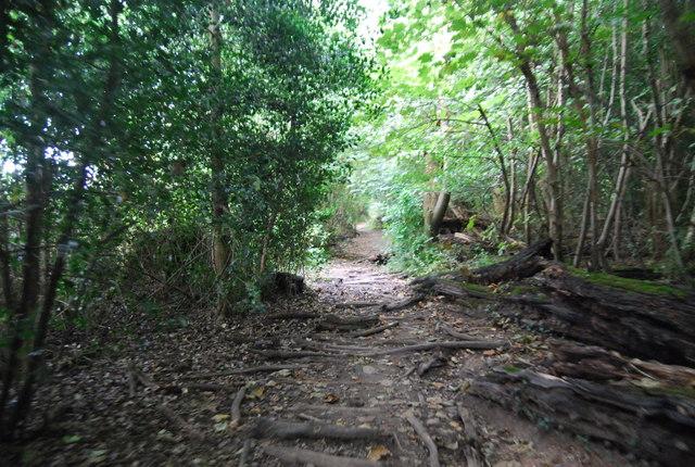 Tree roots on the Tunbridge Wells Circular Path