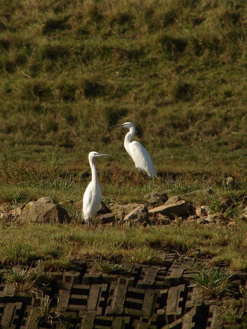 Little egrets on the Macmillan Way