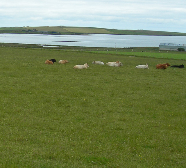 Lazy cows in a gently sloping field