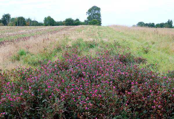 Red clover on the footpath to Whitehall Farm