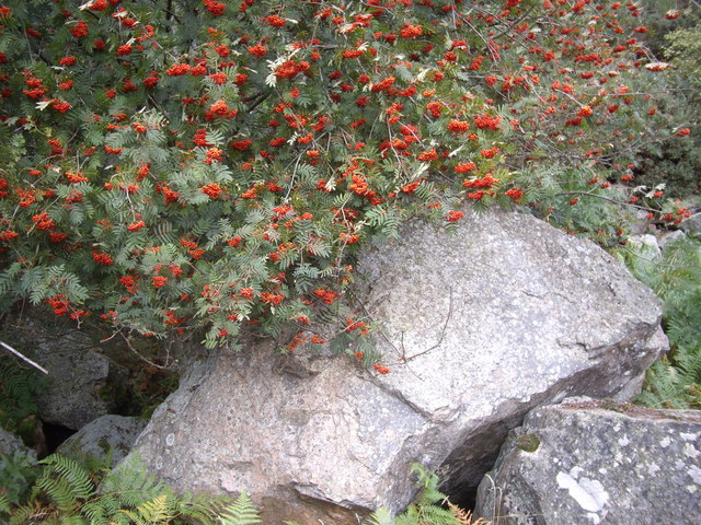 Rowan berries and granite scree