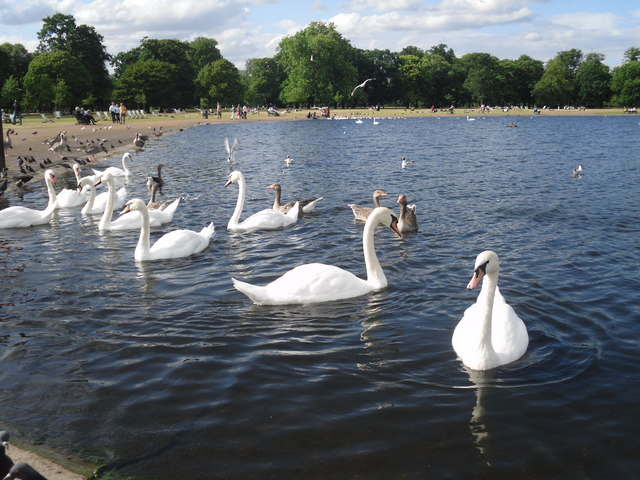 Swans on the Round Pond