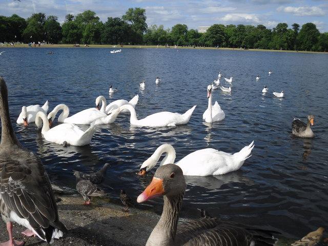 Bird life on the Round Pond