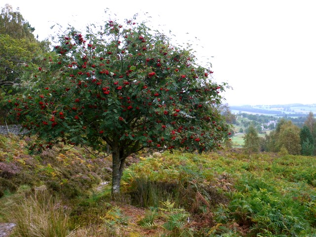 Rowan Tree, Harbottle Crags