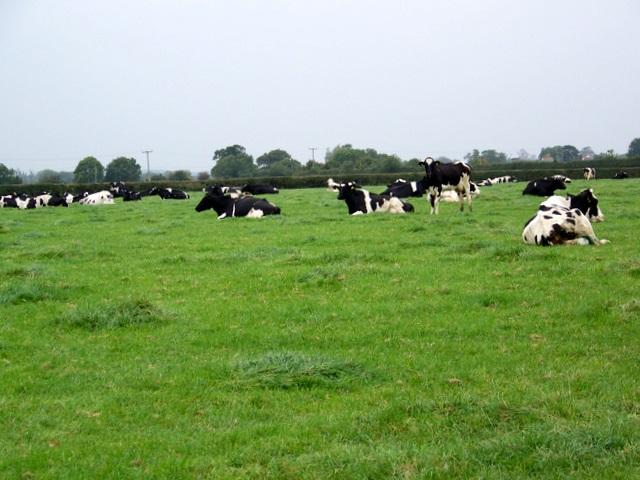 Cattle near Alhampton