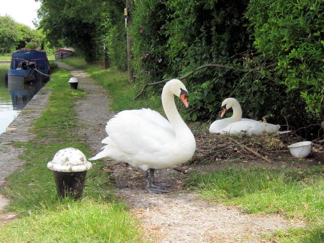 On Guard – The cob swan guards the pen on her nest on the canal towpath