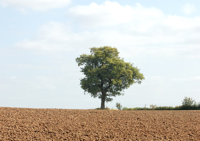 A solitary ash tree north of Bascote Lodge