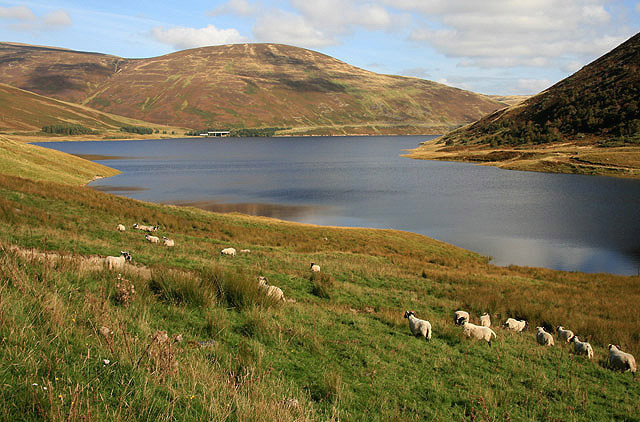 Grazing sheep at the southern end of Megget Reservoir