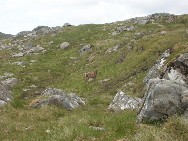 Red Deer stag in Choire Ghranda