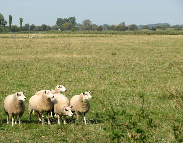 Sheep in pasture east of the A1064