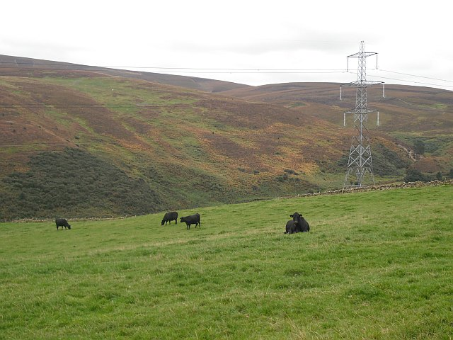 Cattle, Stobshiel Mains
