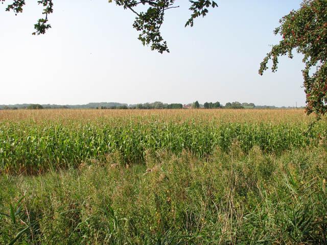 A crop of maize west of Muck Fleet