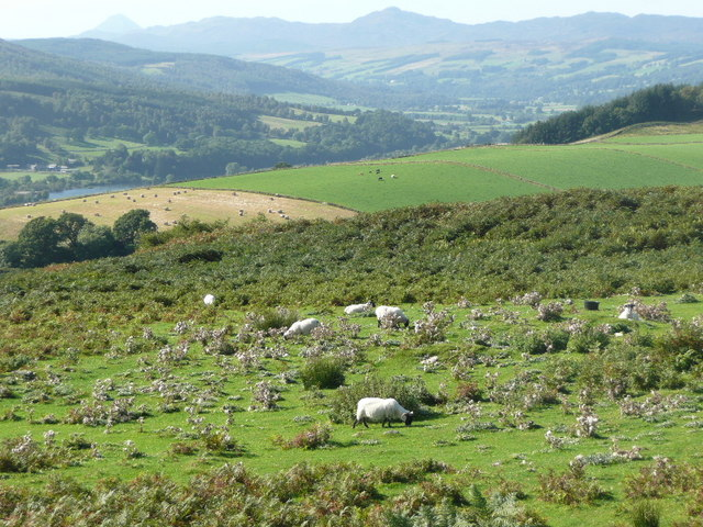 Sheep grazing amongst thistles and bracken