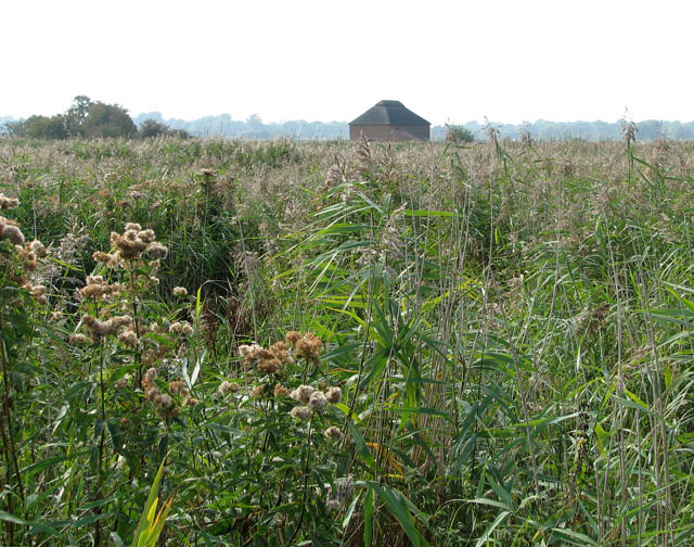 Reed beds beside the River Bure