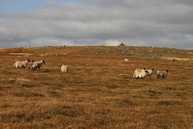 Border hill sheep