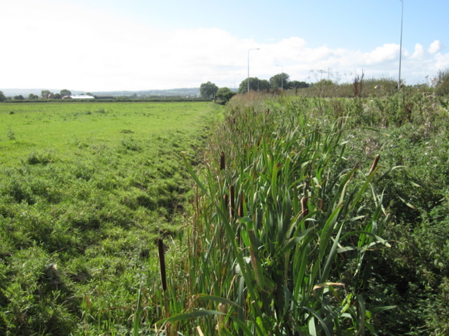 Bulrushes by the A5104