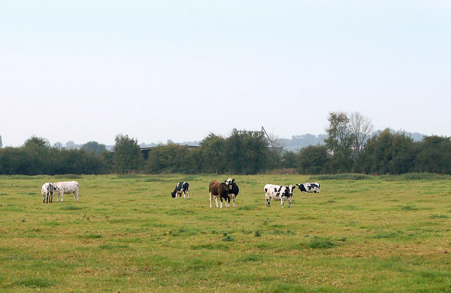 Cattle grazing east of Southam