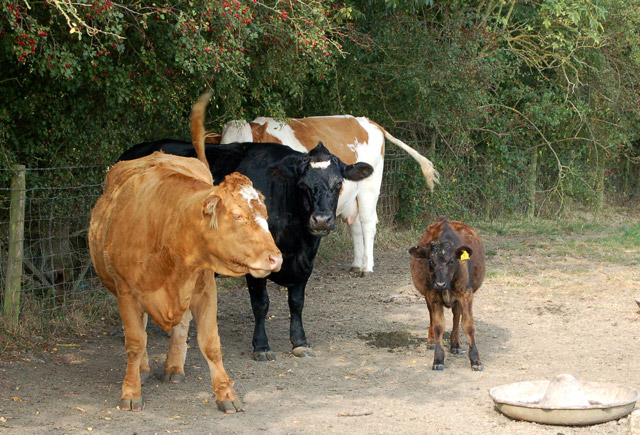 Cattle and calf at Pastures Farm, Napton