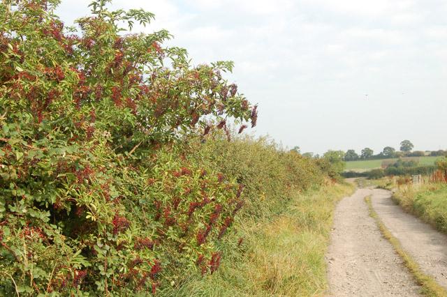 Elder berries beside a farm track
