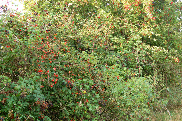 Rosehips beside a farm track
