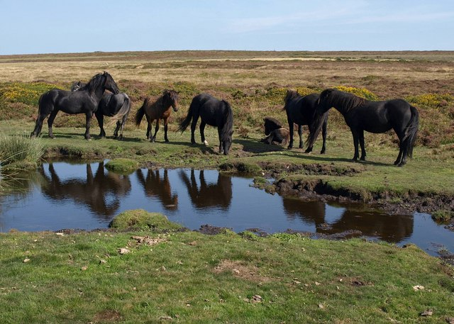 Ponies on Haytor Down