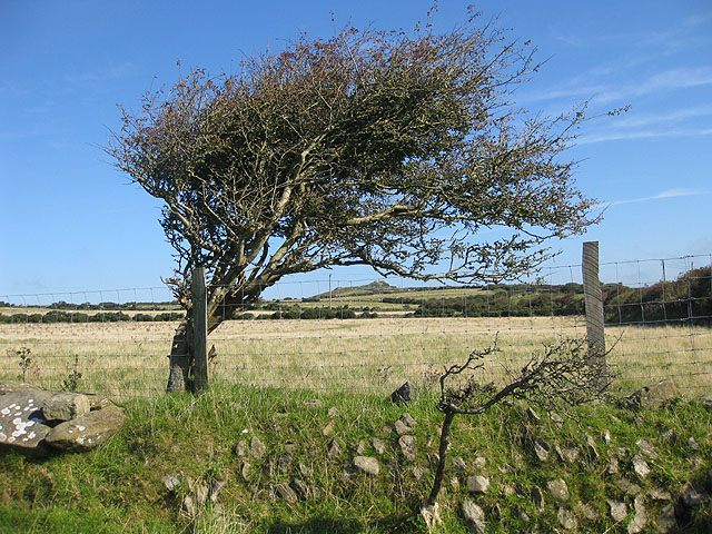 Wind-sculpted hawthorn