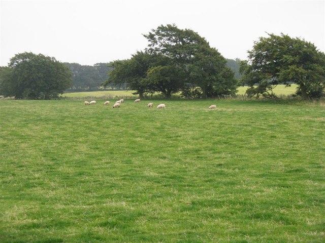 Sheep near Silverburn