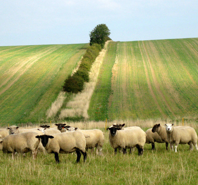Sheep, wold and hedgerow