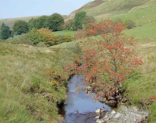 Afon Tywi  with rowan tree, by Bryn Mawr