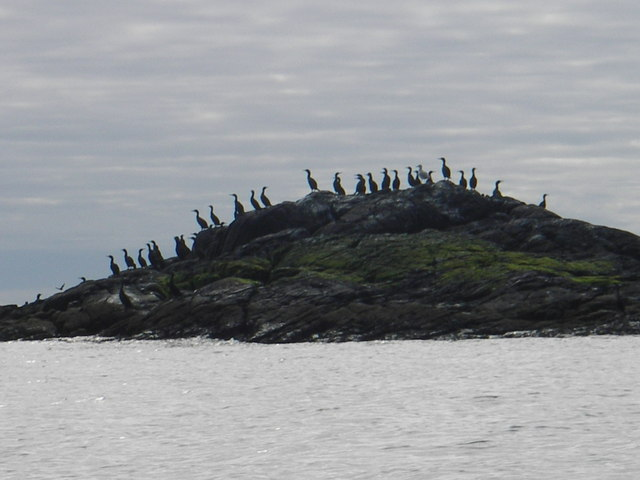 Shags on Cleite off Sandray south coast