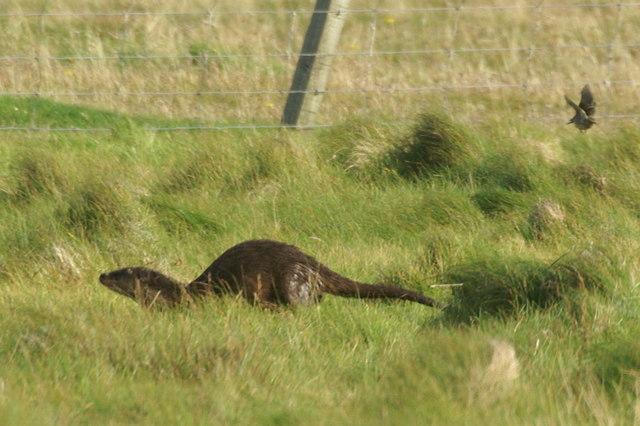 Otter (Lutra lutra), Uyeasound