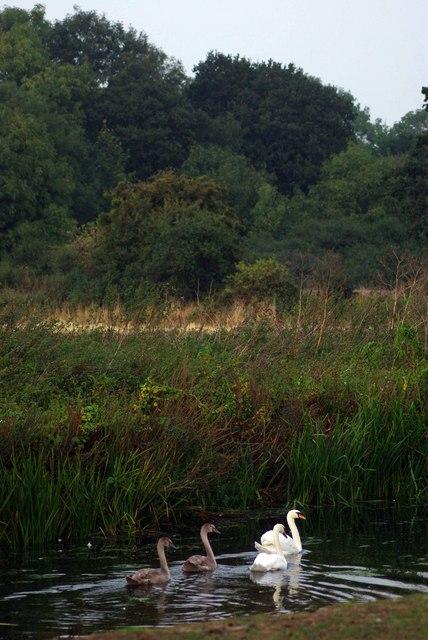 Mardike and Swans