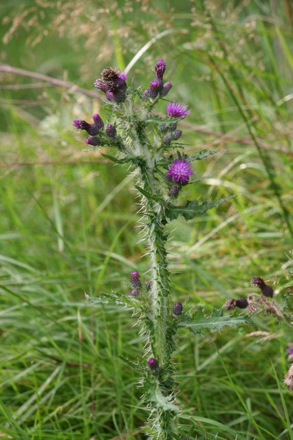 Thistle by the path