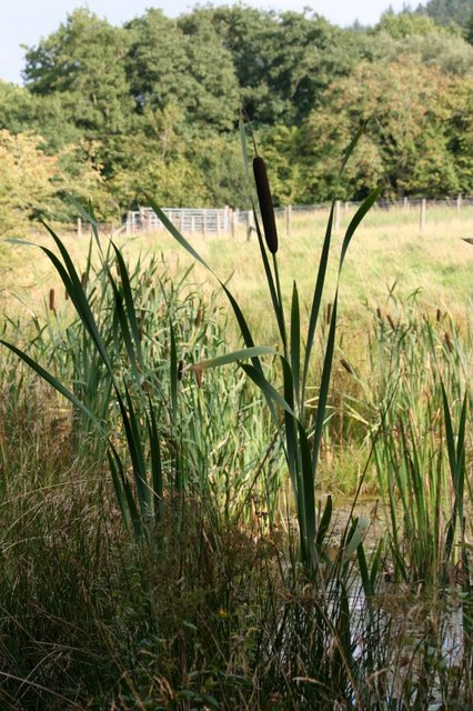 Bulrush in the pond