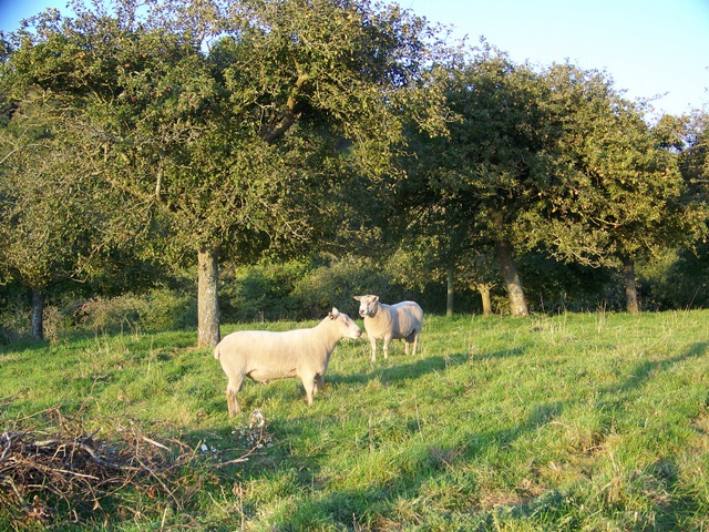 Rams in the orchard, Sutton Montis
