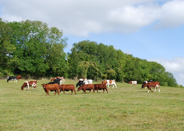 Beef cattle, Levin Down
